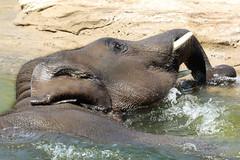 Radza Jr. -   Asiatic elephant (K.Verhulst) Tags: radzajunior asiaticelephants aziatischeolifant elephants olifanten emmen wildlandsadventurezoo wildlands