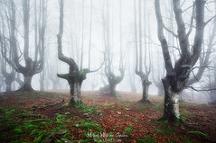 Akelarre (Mimadeo) Tags: forest fog creepy spooky trees winter autumn wet hazy foggy foliage natural leaf misty mist beech branch nature haze landscape morning leaves bark trunk light mystery fantasy magic magical mystical darkness dark gloomy murky ominous nightmare unreal twisted horror scary moss