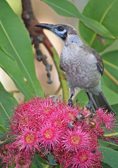Little Friar Bird 010 (DMT@YLOR) Tags: littlefriarbird redfloweringgumtree flower tree leaves goodna ipswich queensland australia pollen
