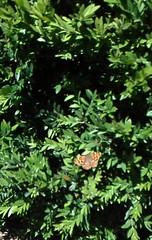 Sintra (LuPan59) Tags: lupan59 sintra fauna insectos borboletas
