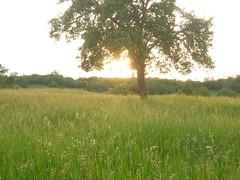 meadow sunset (Jörg Paul Kaspari) Tags: lieblingsblumenwiese blumenwiese meadow herresthal südeifel sunset sonnenuntergang baum tree abre obstbaum