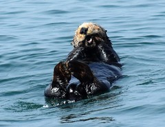 Sea Otter off the Coast (Kevin Shriner) Tags: pebblebeach monterey montereybay humpbackwhale whale seaotter sealion dolphin scenic nature pacificocean pacific golf golfcourse ocean wildlife sea tail fins california