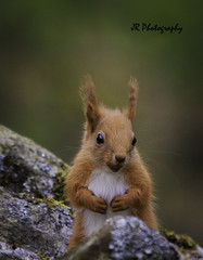 Startled squirrel (wearrapeople) Tags: cottage highlands hirsten holiday nature wildlife