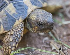 Turtle (lulo92) Tags: turtle tartaruga rettile aniaml animol animale rectil macro details dettagli sigma 105 sigma105 nikon top nikontop