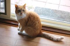 Zeek (Damasquerade) Tags: cat orange ginger soft light wood beautiful cats cute