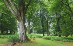 New Forest National Park, Hampshire, England (east med wanderer) Tags: england hampshire newforest lyndhurst nationalpark oak beech woodland markashwood summer green bracken worldtrekker