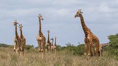 unbenannt-2624 (ovg2012) Tags: kenyake masaigiraffe nairobi nairobinationalpark