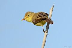 Alert - Alerta (Yako36) Tags: portugal peniche ferrel bird birdwatching ave nature natureza nikon200500 nikond7000