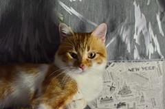 Boss ) (Luniul) Tags: cat redcat animal