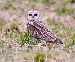 Jorduggla (Asio flammeus) / Short-eared Owl (srchedlund) Tags: fåglar srchedlund jorduggla asioflammeus shortearedowl