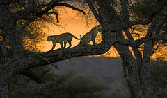 Celebrating ... (AnyMotion) Tags: africanleopard pantheraparduspardus leopard cat cats katzen katze tree baum sunset sonnenuntergang 2006 anymotion tarangirenationalpark tanzania tansania africa afrika travel reisen animal animals tiere nature natur wildlife 20d canoneos20d ngc npc