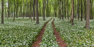 *Wild Garlic Forest*