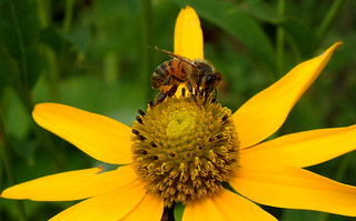 HONEY BEE searching for GOLD