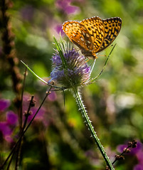 Tip Topper (Portraying Life, LLC) Tags: michigan unitedstates butterfly closecrop nativelighting meadow