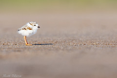 Piping Plover Chick (Matt F.) Tags: piping plover chick bird pipingplover