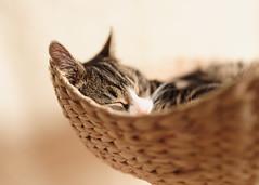 'Sleepy Tiffin' (Jonathan Casey) Tags: kitten sleeping tabby d810 zeiss otus 55mm f14 basket cat tree otus1455 carlzeiss