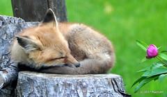 DSC_0705 (rachidH) Tags: fox renard vulpes foxcub renardeau redfox renardroux vulpesvulpes backyard frontyard wildlife sparta newjersey nj rachidh nature