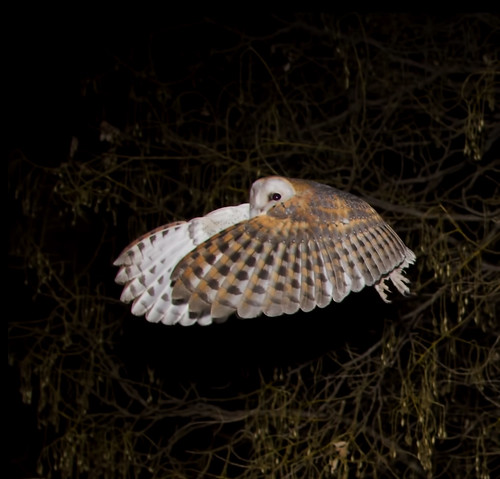 Western barn Owl looking over  outstreched wings