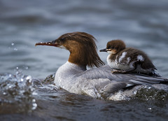 The safest place in the planet. (Samuli Koukku) Tags: helsinki lauttasaari isokoskelo bird animal wildlife cub baby nature ride sea balticsea north summer spring water goosander mergusmerganser