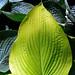 "Cincinnati – Spring Grove Cemetery & Arboretum ""Hosta Plant – Leader Of The Pack"""