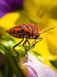 Streifenwanze - striped Bug
