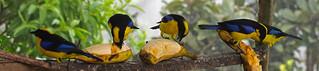 Blue-winged Mountain-Tanagers (Anisognathus somptuosus).  Refugio Paz de las Aves.  Tandayapa Valley, north-western Ecuador.