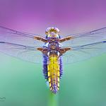 Broad-bodied Chaser - Libellula depressa ( Female ) thumbnail