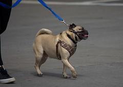 Tight Leash (swong95765) Tags: dog cute animal canine leash tight strain pull control collar restraint