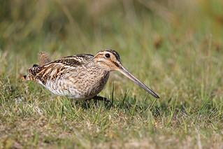 9P1A1533a Common snipe (Wales)