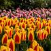 Yellow and pink tulips in Keukenhof garden