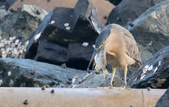 striated heron (Butorides striata)-2970 (rawshorty) Tags: rawshorty birds australia nsw portmacquarie