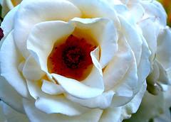 Flor | Flower | Fleur | Fiore | Blume | цветок (António José Rocha) Tags: portugal gouveia natureza cor branco amarelo beleza pétalas