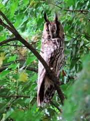 Hibou moyen-duc (jean-daniel david) Tags: hibou hiboumoyenduc animal oiseau rapace nocturne nature