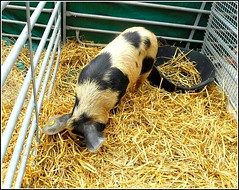 Ossabaw Island Hog ... (** Janets Photos **) Tags: uk hull cities events pigs swine animals