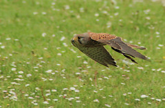 the fighter jet! (Axel Bobard) Tags: bird birds nature oiseau oiseaux faucon crecerelle common kestrel falco tinnunculus aves espace rambouillet canon 1300d tamron