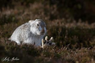 19-02-2017 Mountain Hare