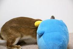 Ichigo san 736 (Ichigo Miyama) Tags: いちごさん。うさぎ ichigo san rabbit うさぎ netherlanddwarfbunny netherlanddwarf brown ネザーランドドワーフ ペット いちご