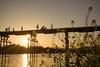 流れ橋1707・Flowing Bridge (anglo10) Tags: 久世郡 京都府 japan kyoto 流れ橋 橋 bridge 木津川 川 river 夕景 sunset flower 菜の花