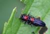 red-necked cane borers (myriorama) Tags: redneckedcaneborer beetles polyphaga elateriformia buprestoidea buprestidae agrilinae agrilini agrilus agrilusruficollis blackberry rubus metallicwoodboringbeetle