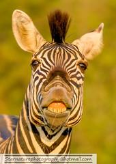 _DJA31251 copy (naturephotographywildlife) Tags: kruger wildlife scenery animals birdlife a99ii africa park