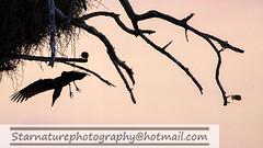 _DJA3629 copy (naturephotographywildlife) Tags: kruger wildlife scenery animals birdlife a99ii africa park hamerkop