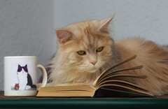 Morning with a good book and a cup of catnip tea .... (FocusPocus Photography) Tags: linus katze kater cat chat gato tier animal haustier pet reading liest buch book iman