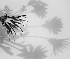 Shadow Play B&W (Clare-White) Tags: light outside sony petals dark assignment aawchallenge bw shadows flower bestofweek1 bestofweek2 bestofweek3 bestofweek4 simple one