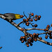 Cuba: Yellow-headed Warbler crop