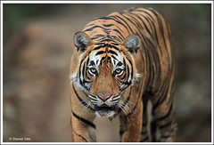 15 copy (sharadvats01) Tags: ranthambhore national park tiger safari india nature