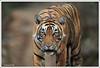 15 copy (sharadvats01) Tags: ranthambhore national park tiger safari india nature