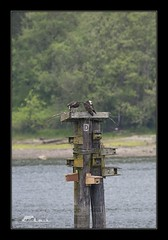 Ospreys are setting up camp (the_coprolite) Tags: osprey rockypoint portmoody bc britishcolumbia canada nikon d750 sigma 150600mm