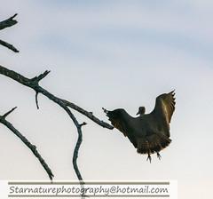 _DJA3606 copy (naturephotographywildlife) Tags: kruger wildlife scenery animals birdlife a99ii africa park hamerkop