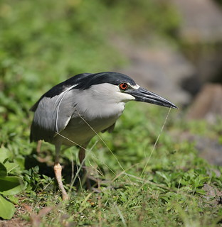 EOS28214 (View Large). Black-crowned Night Heron. Wailea Maui Hawaii