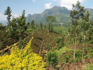 Nuwara Eliya Camellia plants